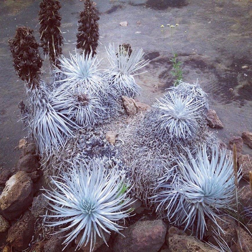 Ahinahina Silversword Plant, Mauna Kea, Hawaii