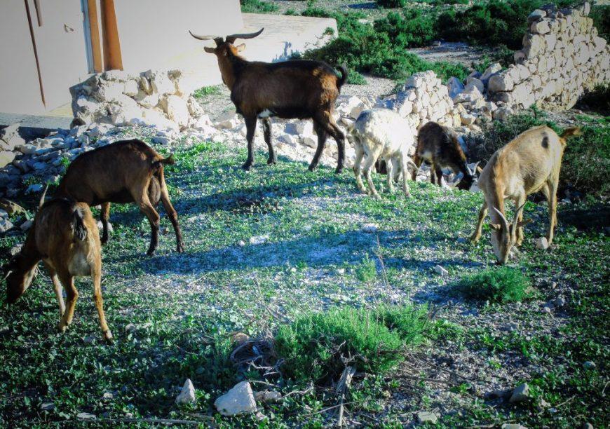 Wild goats, Agadir, Morocco
