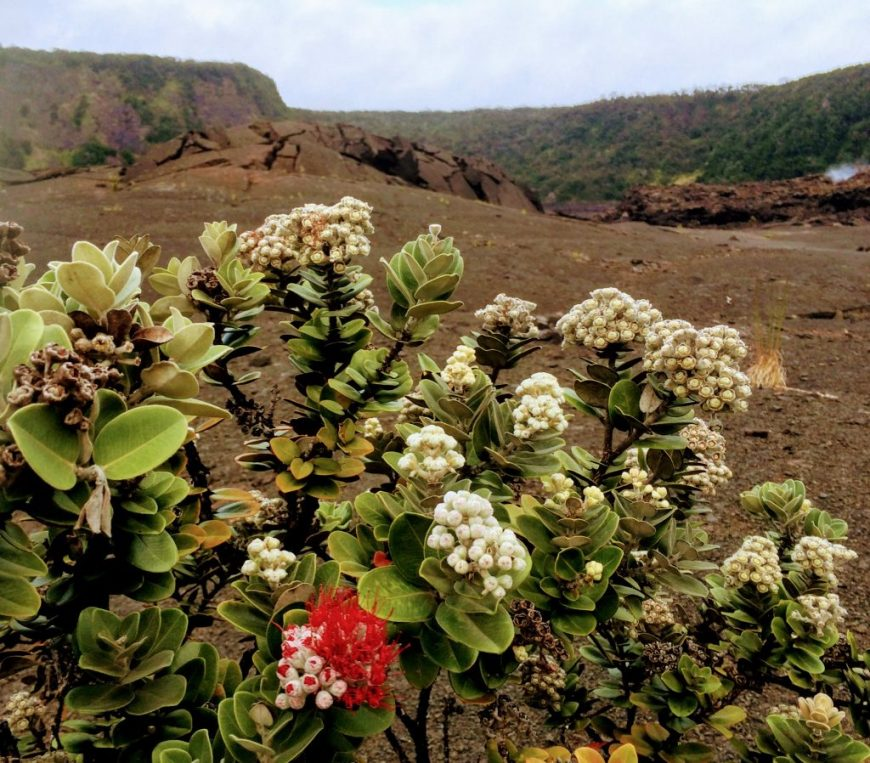 Hawaii Volcanic Crater Flowers