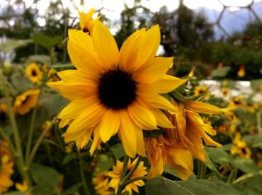 Sunflowers At The Eden Project, England