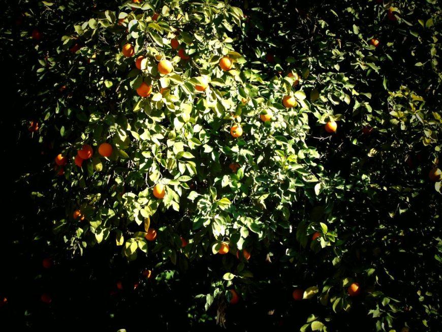 Bahia Palace Orange Trees