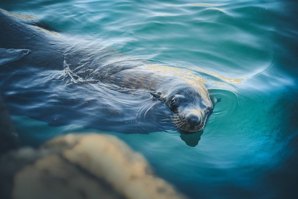 Swimming Seal, Lundy Island