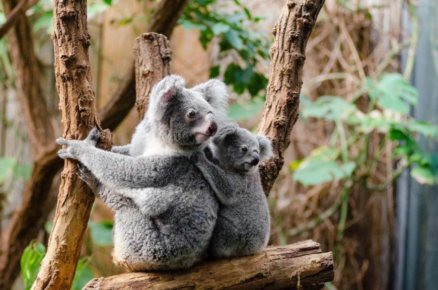 Brisbane Koala