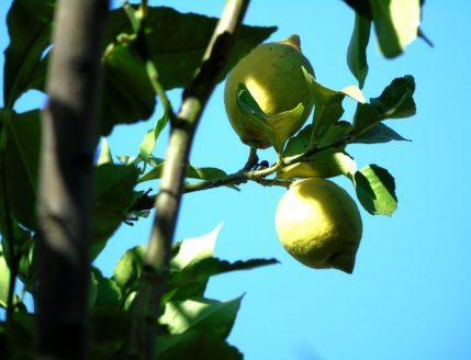 Lemons in Eleouthkia Park, Cyprus