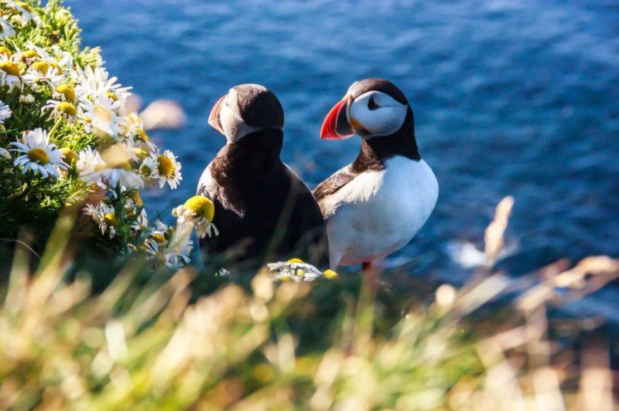 iceland-latrabjarg-cliffs-puffins