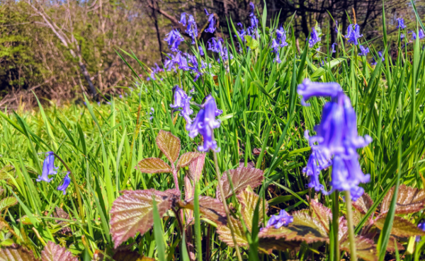 Bluebell Woods: Where to Find Bluebells in the UK