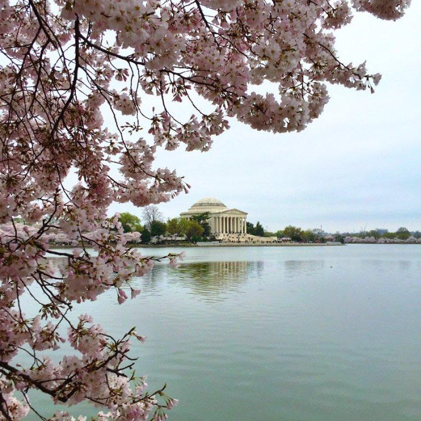 washington-dc-cherry-blossoms
