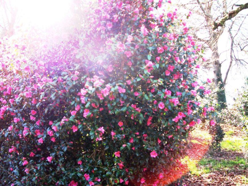 Mount Edgcumbe flowered plants