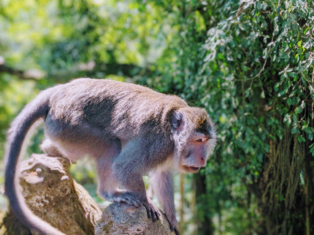 Bali Monkey at Ubud Monkey Forest.jpg