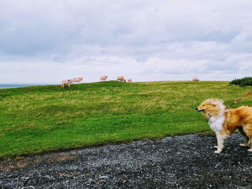 Kai and sheep on Rhossili Coastal walk