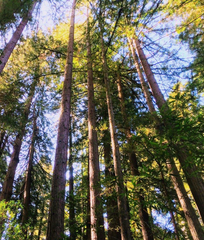 Redwoods at Muir Woods, California