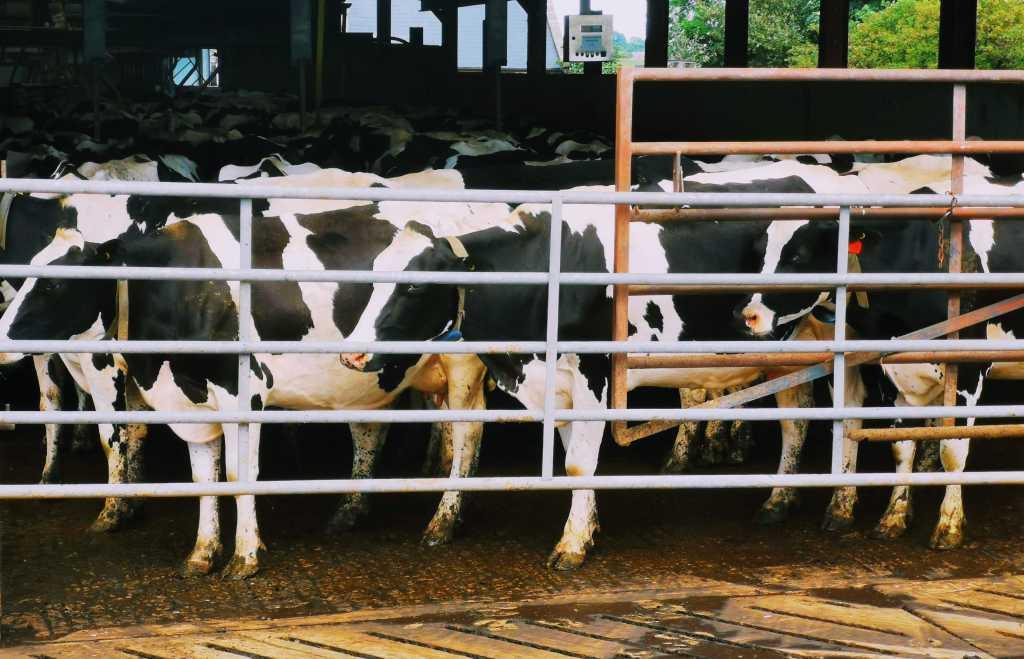 Marshfield Farm dairy cows