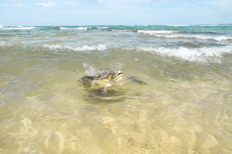 Wanderers & Warriors - Wild Hikkaduwa Turtles, Sri Lanka