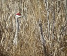 sandhill crane cheryl