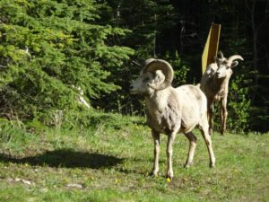 Bighorn Sheep in Banff National Park, Canada