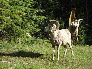 Bighorn Sheep in Banff National Park, Canada