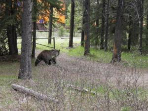 Grizzly Bear in Banff National Park, Canada