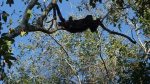 Howler Monkey. Mother and Baby in Calakmul