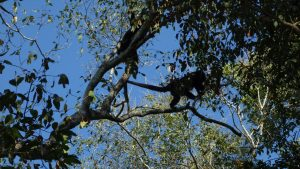 Howler Monkey in Calakmul
