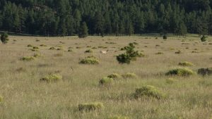 Pronghorn sheep in the meadow