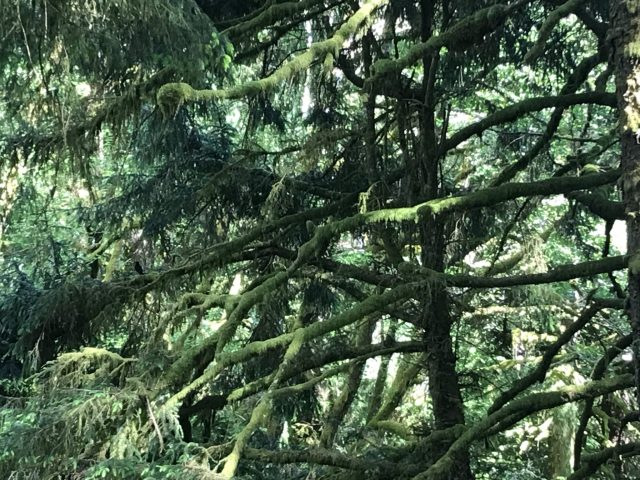 Old Growth Forest on the Oregon Coast