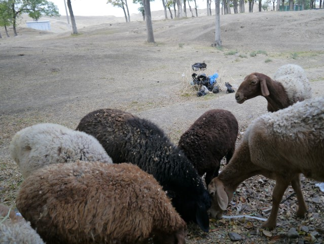 These sheep appear to be helping with excavations near the Afrosiyab