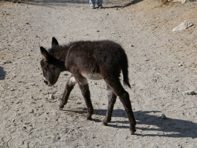 This little donkey had such delicate footing!