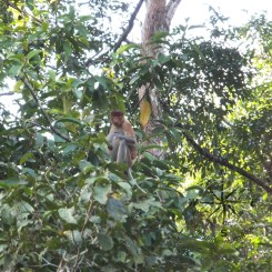Proboscis Monkey Looking at Us in Kinabatangan River Wildlife Sanctuary