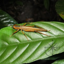 Orange Grasshopper Sideview in Sukau Forest Kinabatangan