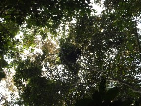 Sightings of Orang Utan Bed during Morning Jungle Trekking in Kampung Sukau Forest near Sukau Evergreen Lodge Kinabatangan