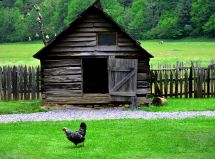 A chicken outside the coop