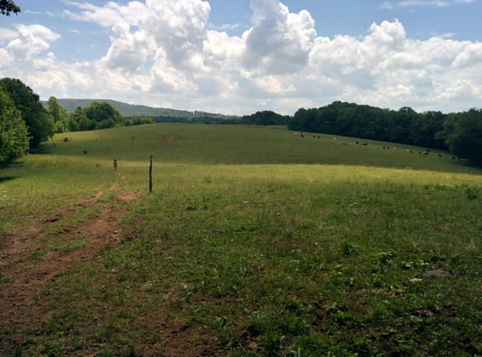 Cows grazing near the trail.