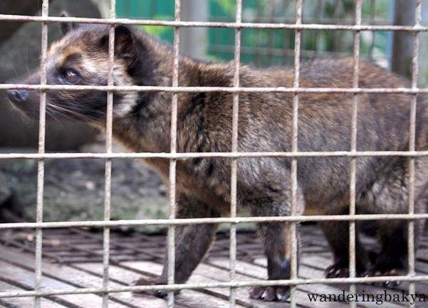 Philippine Palm Civet (local name musang)