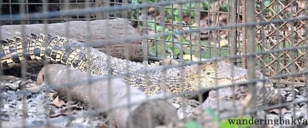 Saltwater Crocodile (local name buwaya)