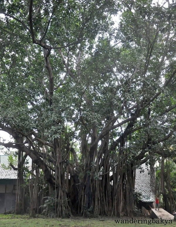 One of the trees found in Ninoy Aquino Parks and Wildlife Center