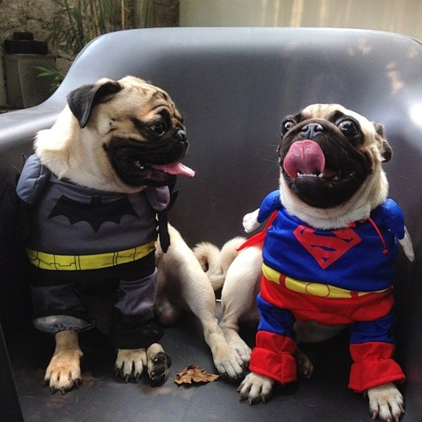 Jamba the Pug and a lady friend as Batman and Superman, respectively.