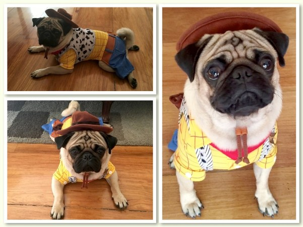 Jamba the Pug as a cowboy. He can be Woody's sidekick.