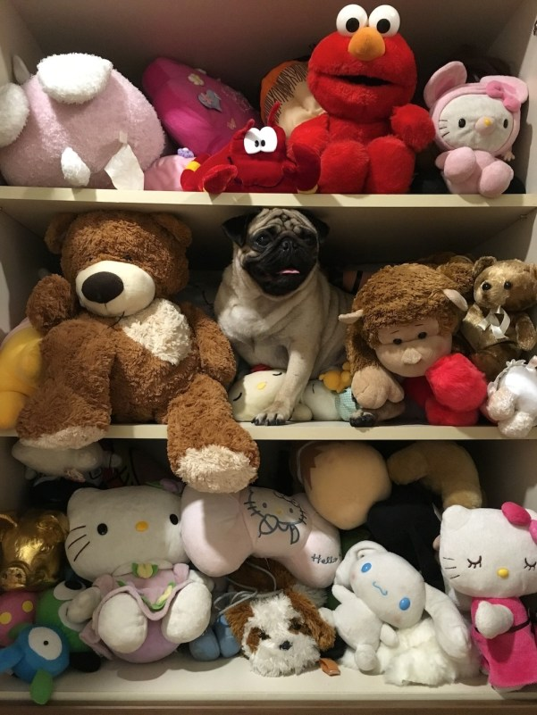 Jamba the Pug blends in beautifully with this collection of stuffed toys.