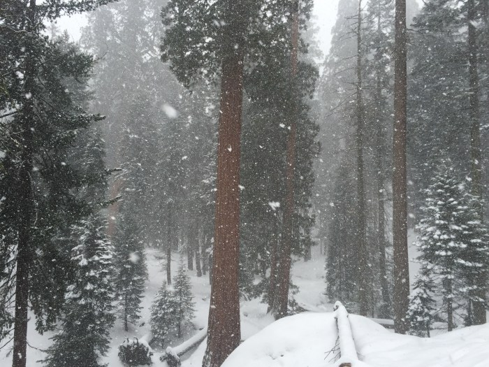 Snowfall in the Giant Forest