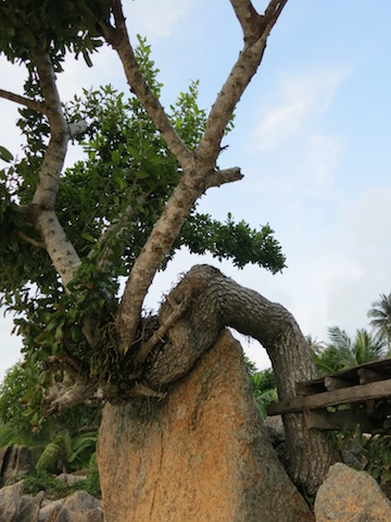 Life lessons learned on a beach in Koh Samui, twisted tree