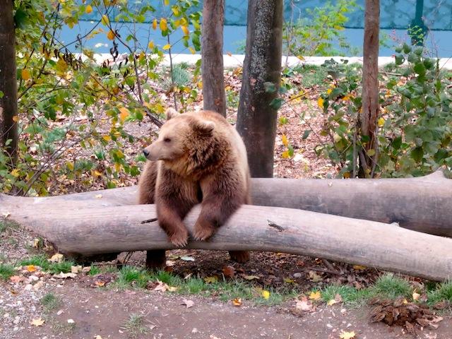 Bjork, a philosophical bear