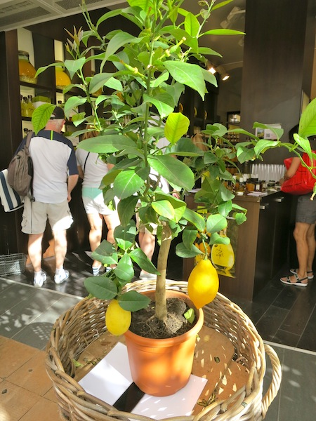 Lemon tree in Menton South of France