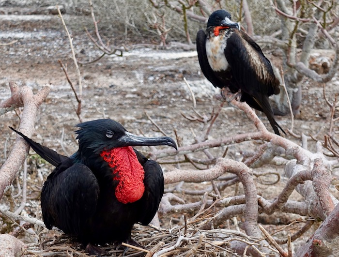 Frigate during mating season Galapagos birds
