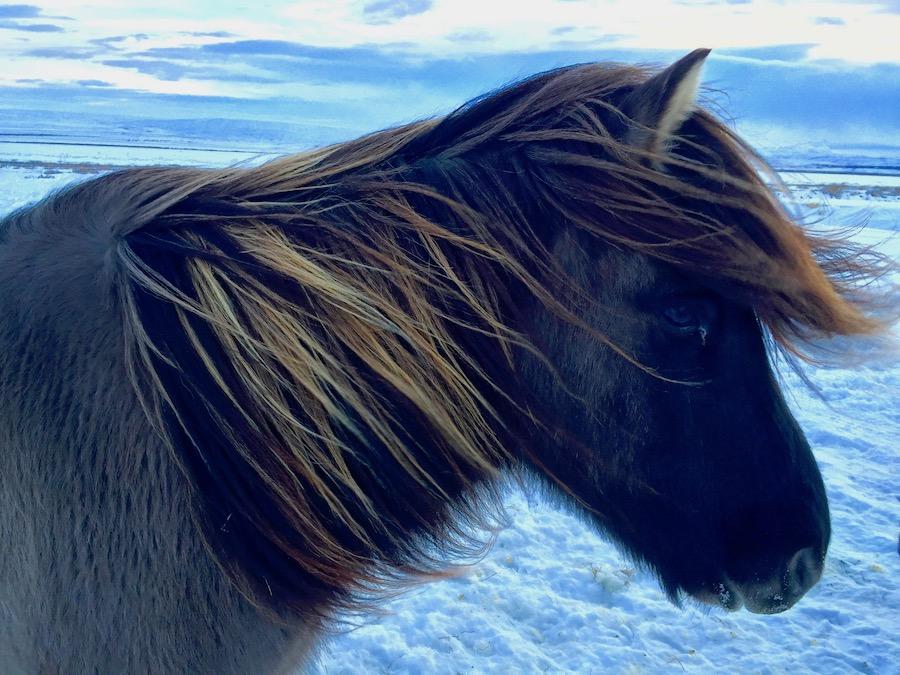 Iceland Ponies Road Trip Iceland