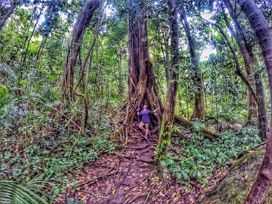 Daintree Rainforest National Park Australia Wandering Chocobo