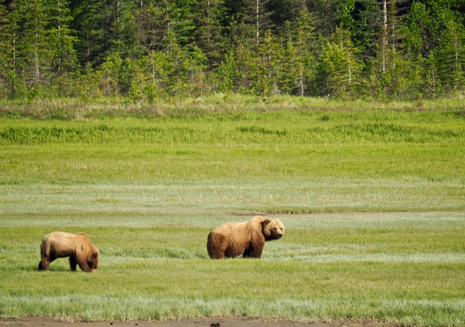 Alaska-brown-bear-viewing-chinitna-bay-Lake-Clark-National-Park