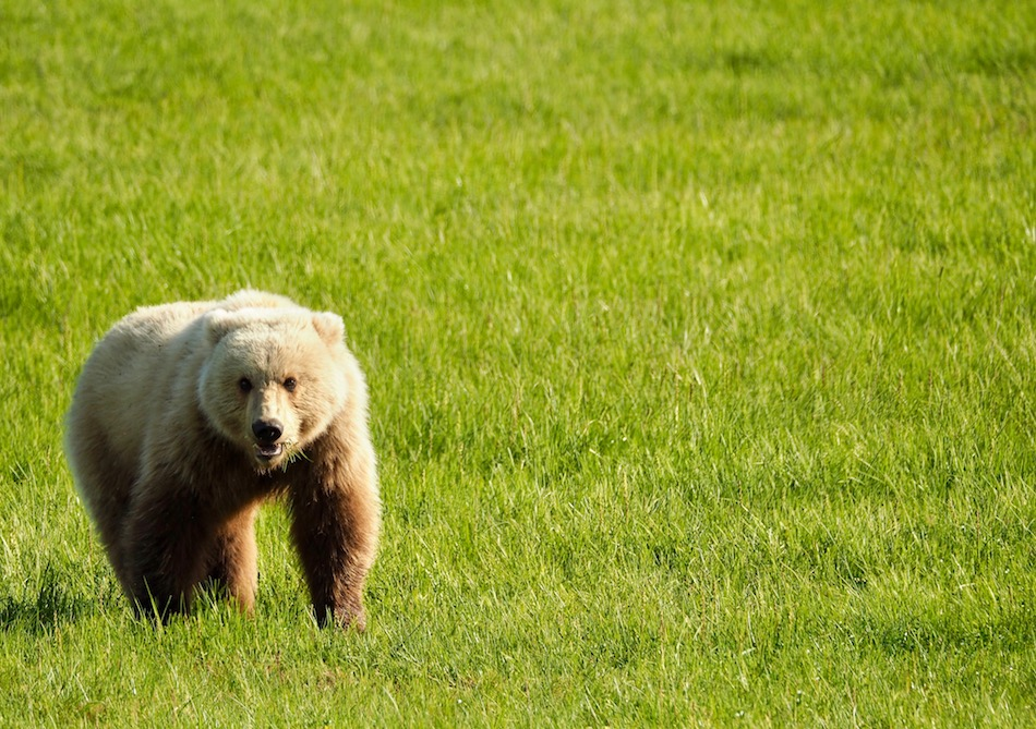 Alaska brown bear viewing Lake Clark National Park chinitna bay