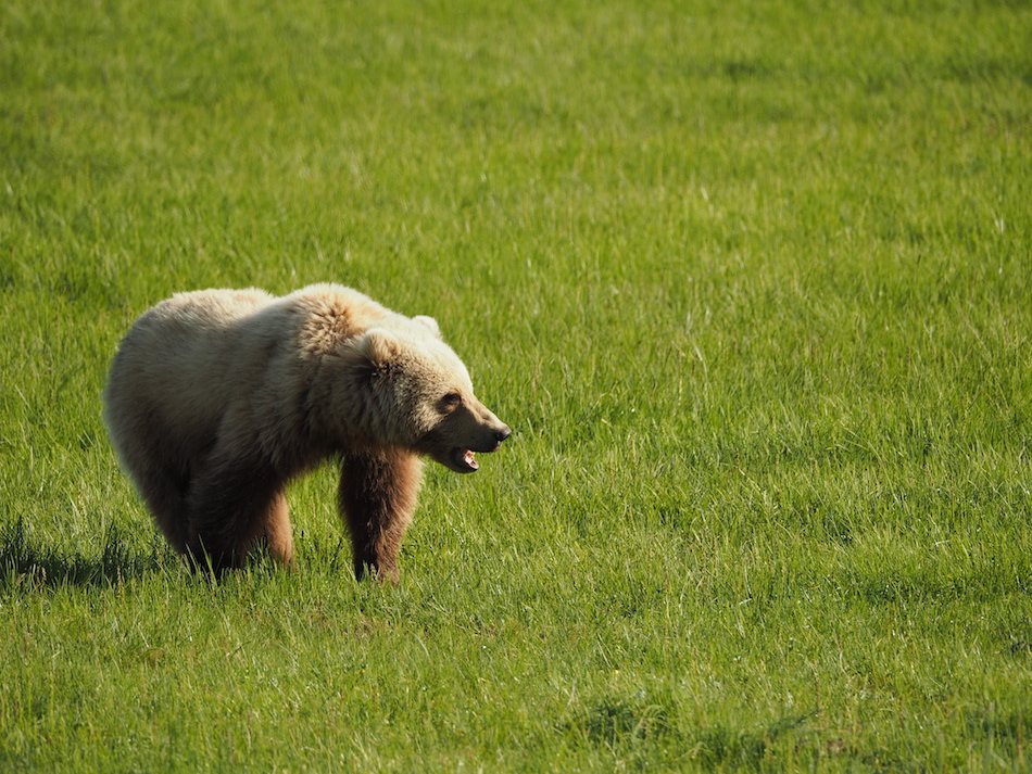 Alaska-brown-bear-viewing-ecotour-chinitna-bay-Lake-Clark-National-Park