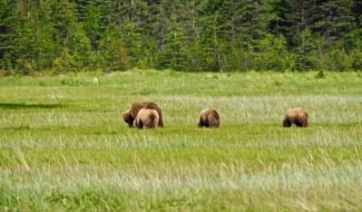 alaska-bear-family-chinitna-bay