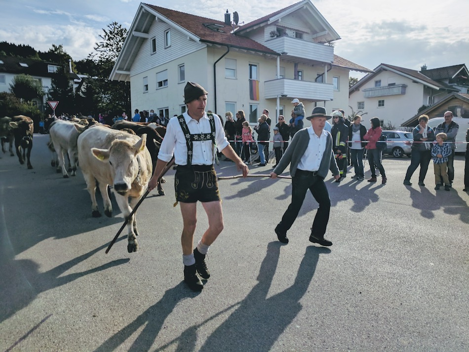 farmers bringing cows in a parade in Almabtrieb or Viehschied in Handenwang German Alps
